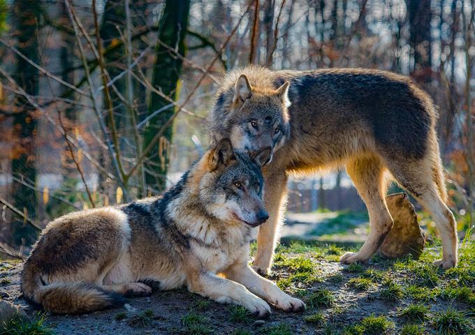 恋人と寄り添う狼
