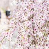写真:桜の開花と心の開花、お花見シーズンから始まる不倫とは?
